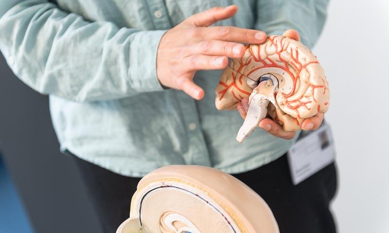 Experte erklärt Modell eines Gehirns