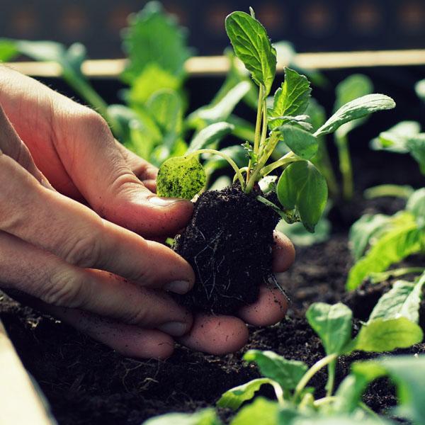 Einpflanzen Setzling bei Gartentherapie